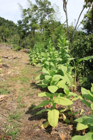 Tabak-Pflanze